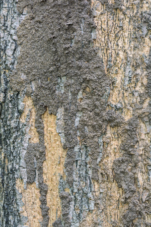Termite colony on a bark of a tree closeup.