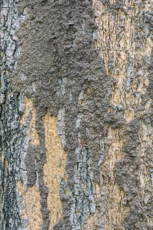 encroach: Termite colony on a bark of a tree closeup.