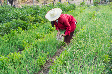 Women working in  vegetable garden in thailand