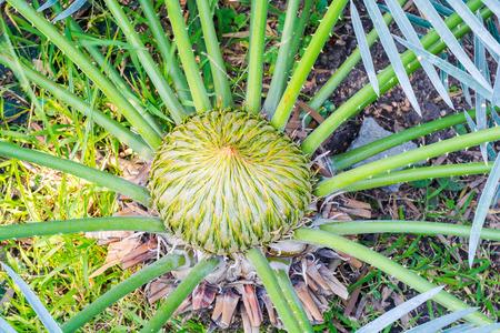 cycad: Close up cycad scientific name is Cycas circinalis L., Families Cycadaceae.