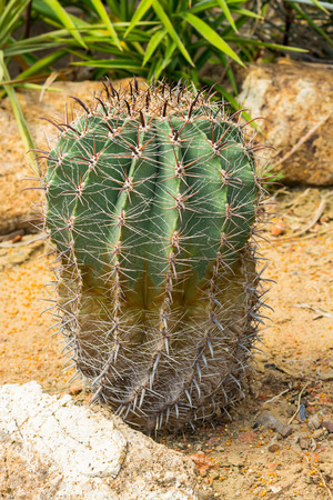 spines: Ferocactus glaucescens is a spherical or cylindrical cactus with long yellow spines and yellow flowers in summer. Stock Photo