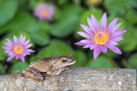 common hop: Frog, Shrub frog, Moss frog, Polypedates leucomystax on timber in lotus pond.