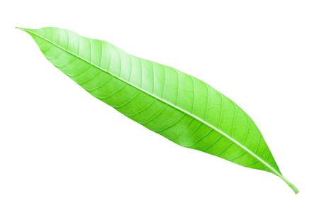 Green mango leaf isolated on white. Standard-Bild