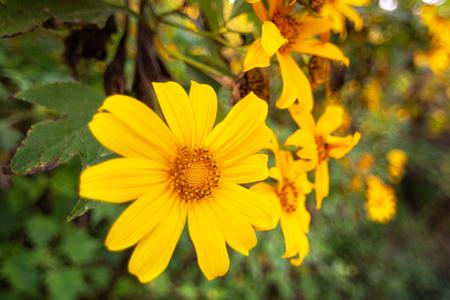 Closeup of Mexican sunflower blooming in mountain yellow, Beautiful Lotus fields Doi Mae U-kho, Khun Yuam Mae Hong Son thailand.
