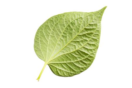 Piper sarmentosum, Wildbetal leafbush leaf isolated on white. Standard-Bild