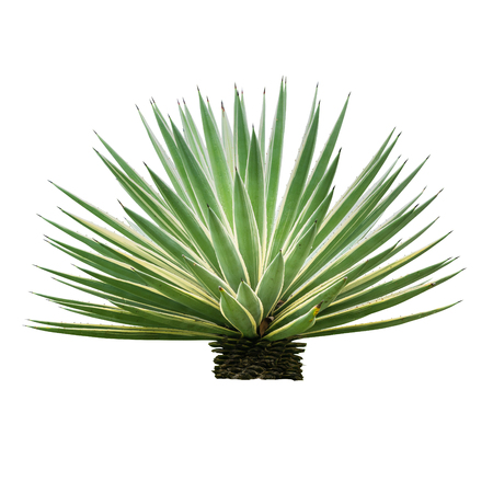 Agave plant isolated on white backgroumd. The succulent leaves of most Agave species have sharp marginal teeth are mostly monocarpic, though some species are polycarpic. Standard-Bild