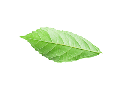 Streblus asper leaf isolated on white. Siamese rough bush, Tooth brush tree