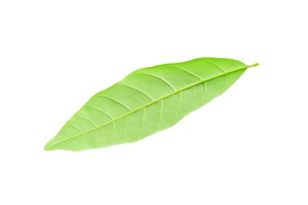Dimocarpus longan leaf isolated on white.