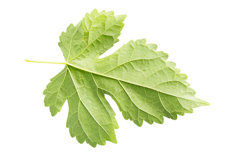 Morus,Mulberry leaf isolated on white.