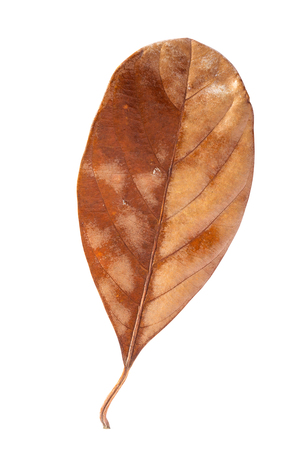 Brown dry jackfruit leaf isolated on white background.