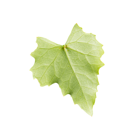 Coccinia grandis leaf isolated on white.