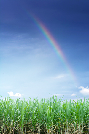 Green sugarcane plantation with beautiful rainbow and sky.
