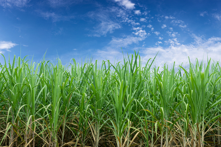 Green sugarcane plantation with blue sky and white cloud.