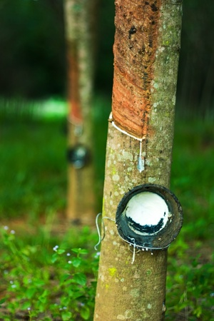 Rubber trees photo