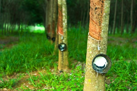 Rubber trees Stock Photo - 10407651