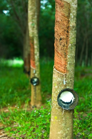 Rubber trees 免版税图像