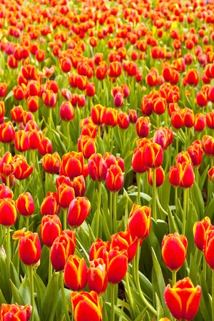 standout: Tulip garden. Stock Photo