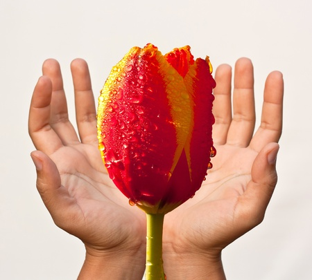 Tulips and hands. photo