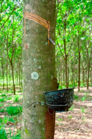 tapper: Rubber flows from the rubber tree into the cup