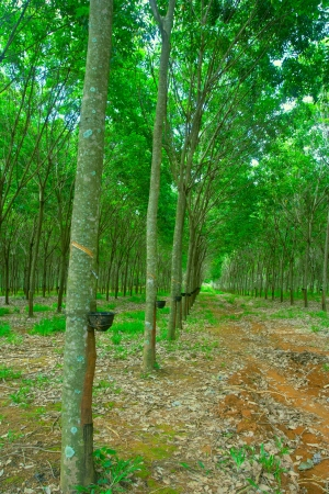 close up shot of rubber trees Stock Photo - 14041458