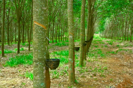 close up shot of rubber trees