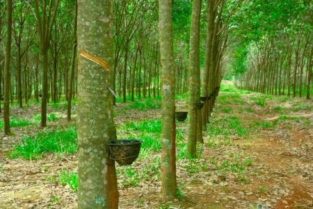 Nahaufnahme Schuss von Gummi-Bäumen Standard-Bild