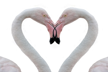 two pink flamingo making heart with necks photo