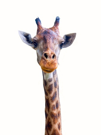 Giraffe isolated on white background. Stock Photo - 15085610