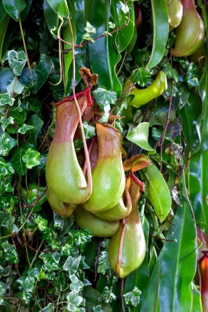 nepenthes Stock Photo - 17220875