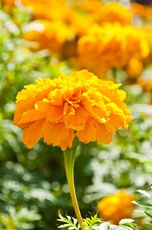 Marigold Stock Photo - 11881859