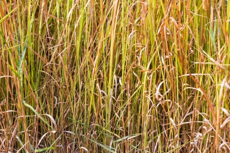 Close up of vetiver grass background Stock Photo