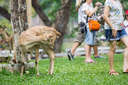 Young deer and tourists on grass field in Khao Kiew zoo,Thailand photo