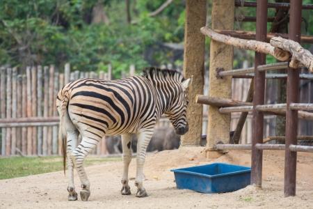 Zebra standing near stables in Khao Kiew zoo,Thailand photo