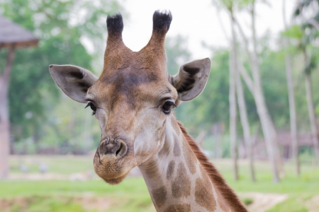 Close up of giraffe in Khao Kiew zoo,Thailand photo