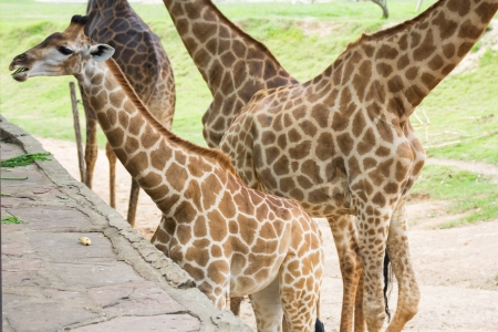 Giraffes in Khao Kiew zoo,Thailand photo