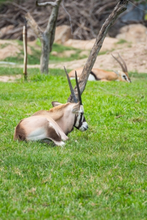 Chamois goat on grass field in Khao Kiew zoo,Thailand photo