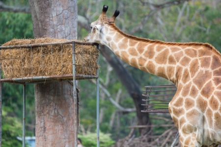 Giraffe feeding in Khao Kiew zoo,Thailand photo