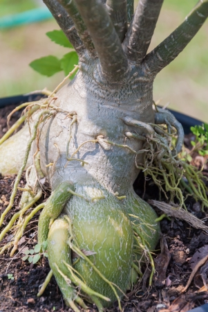 Root of Adenium obesum tree or Desert rose in flowerpot photo