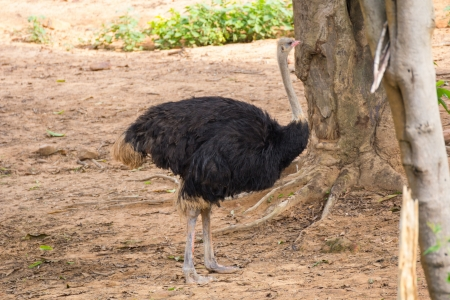 Ostrich stand on the soil under the tree photo