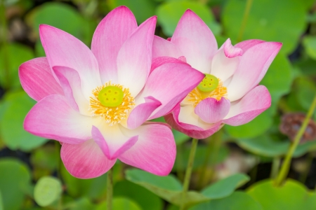 Beautiful pink lotus flower isolated in the pool photo