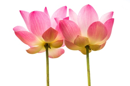 Beautiful pink lotus flower isolated on white background photo