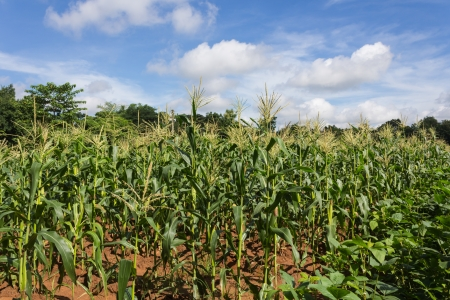Corn field and blue sky in Thailand photo