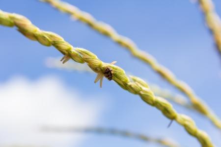septempunctata: Small bug on corn and blue sky