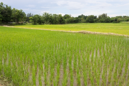 View of rice field in Thailand photo