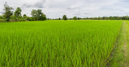 Panorama shot of rice field in Thailand in cloudy day photo