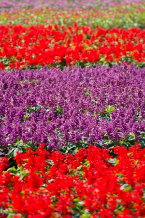 florae: Beautiful purple and red salvia flowers background