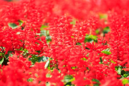 Beautiful red salvia flowers  photo
