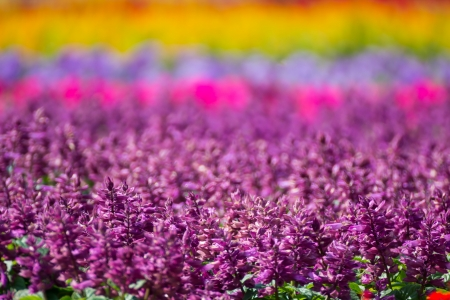 Beautiful purple, red and pink salvia flowers  photo