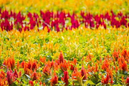 Beautiful red, orange and yellow celosia flowers  photo