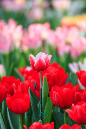 Beautiful red, white, pink tulip flower background photo